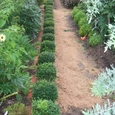 キンメツゲ(庭の輪郭)