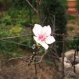 アーモンド(季節はずれの開花)