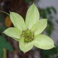 テッセン(季節はずれの開花)