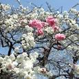 モモ(二色の桃の花)