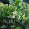 キンメツゲの花