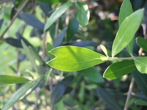 オリーブ(ハート型の葉)