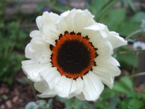 ベニジューム(寒咲蛇の目菊)